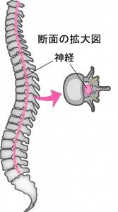 脊柱管断面図